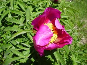 sibillini,trekking,umbria,escursione,fiori,peonia